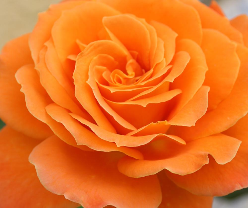Rose | Monika Cyrani | Foto: Mike Kauschke